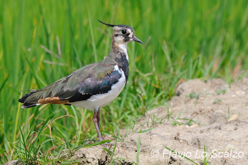 northern lapwing vanellus author lo sc scalzo flavio