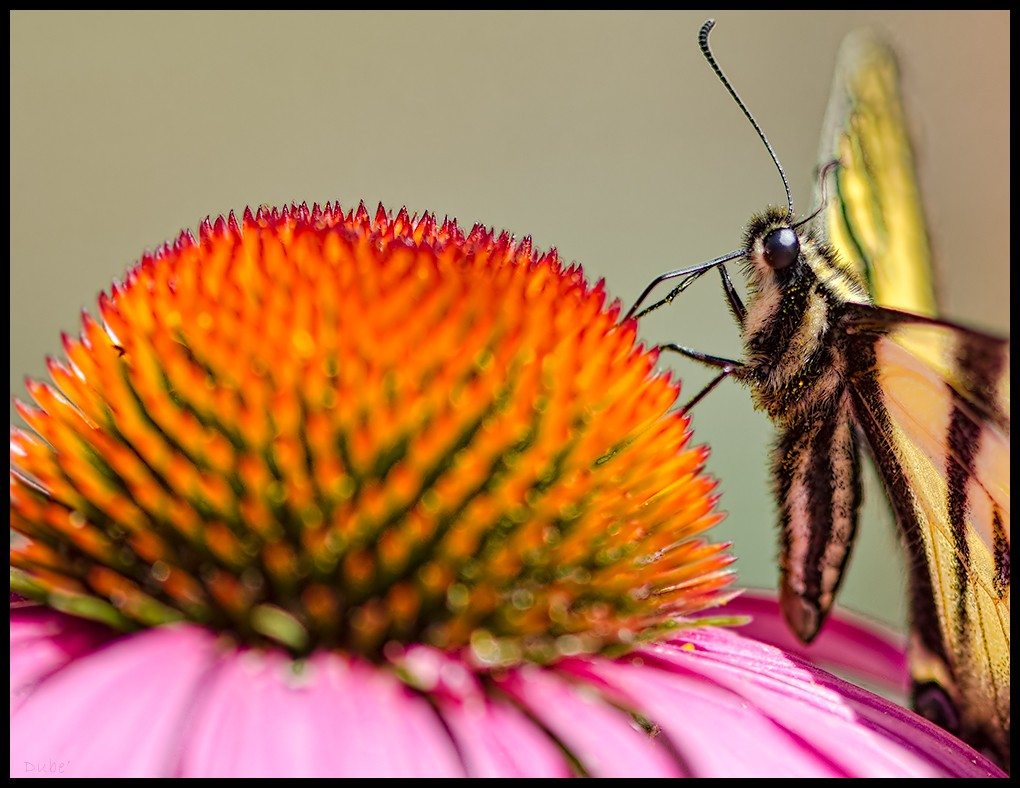 butterfly on cone flower author dube dave