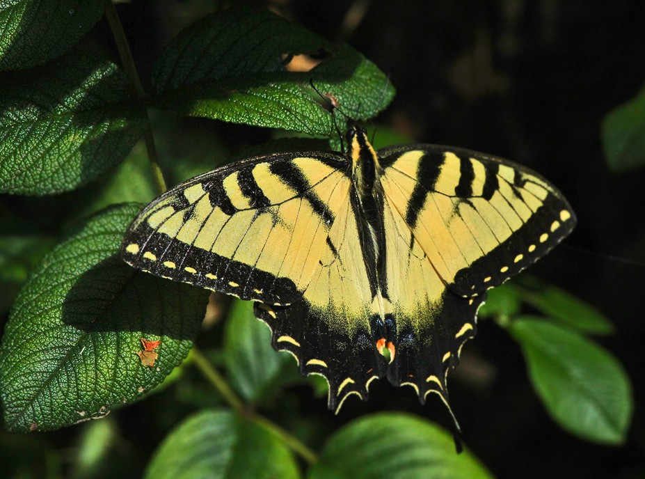 yellow swallowtail img aw author sava gregory and verena