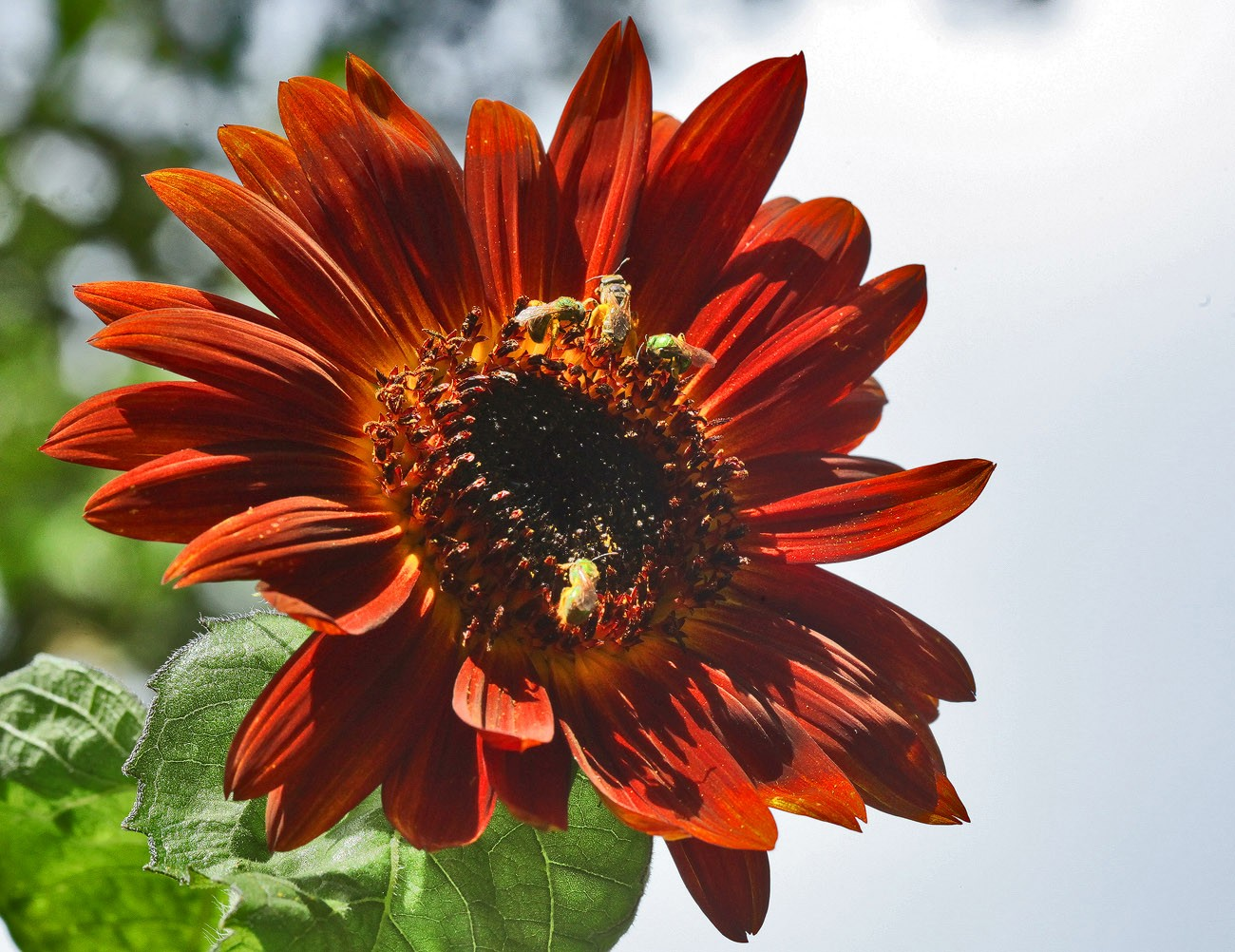 not your ordinary sunflower img aw author sava gr gregory and verena