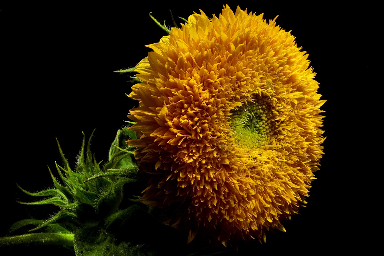 not your momma s sunflower img aw author sava gre gregory and verena