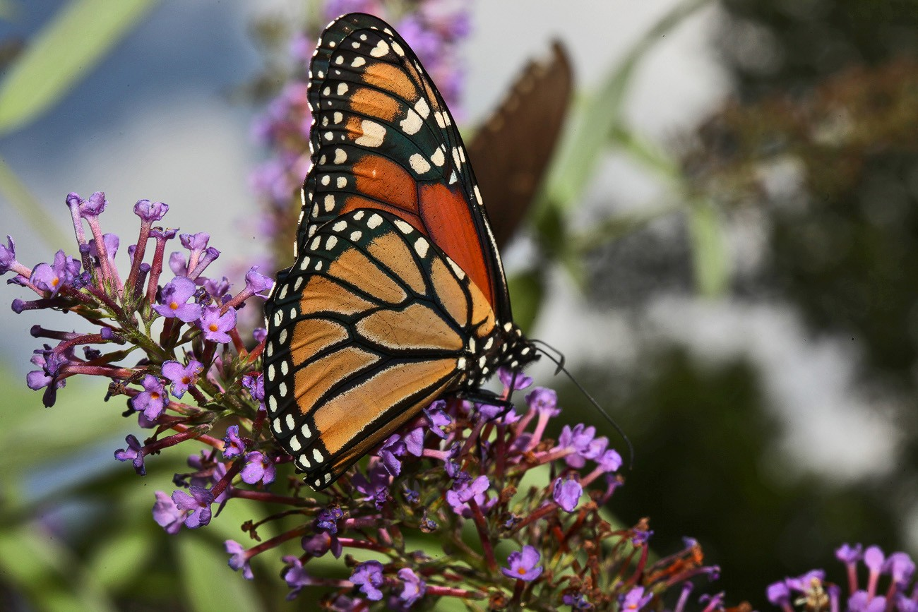 monarch and her bush img aw author sava gregory a verena