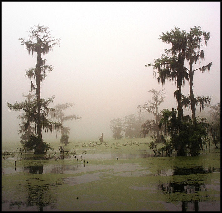 morning on a cypress swamp author gaubert ronnie