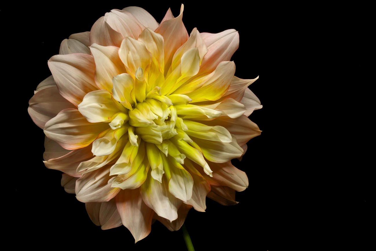 yellow in pink dahlia img aw author sava gregory and verena