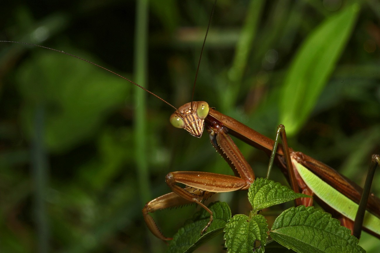 brown mantis img aw author sava gregory and veren verena