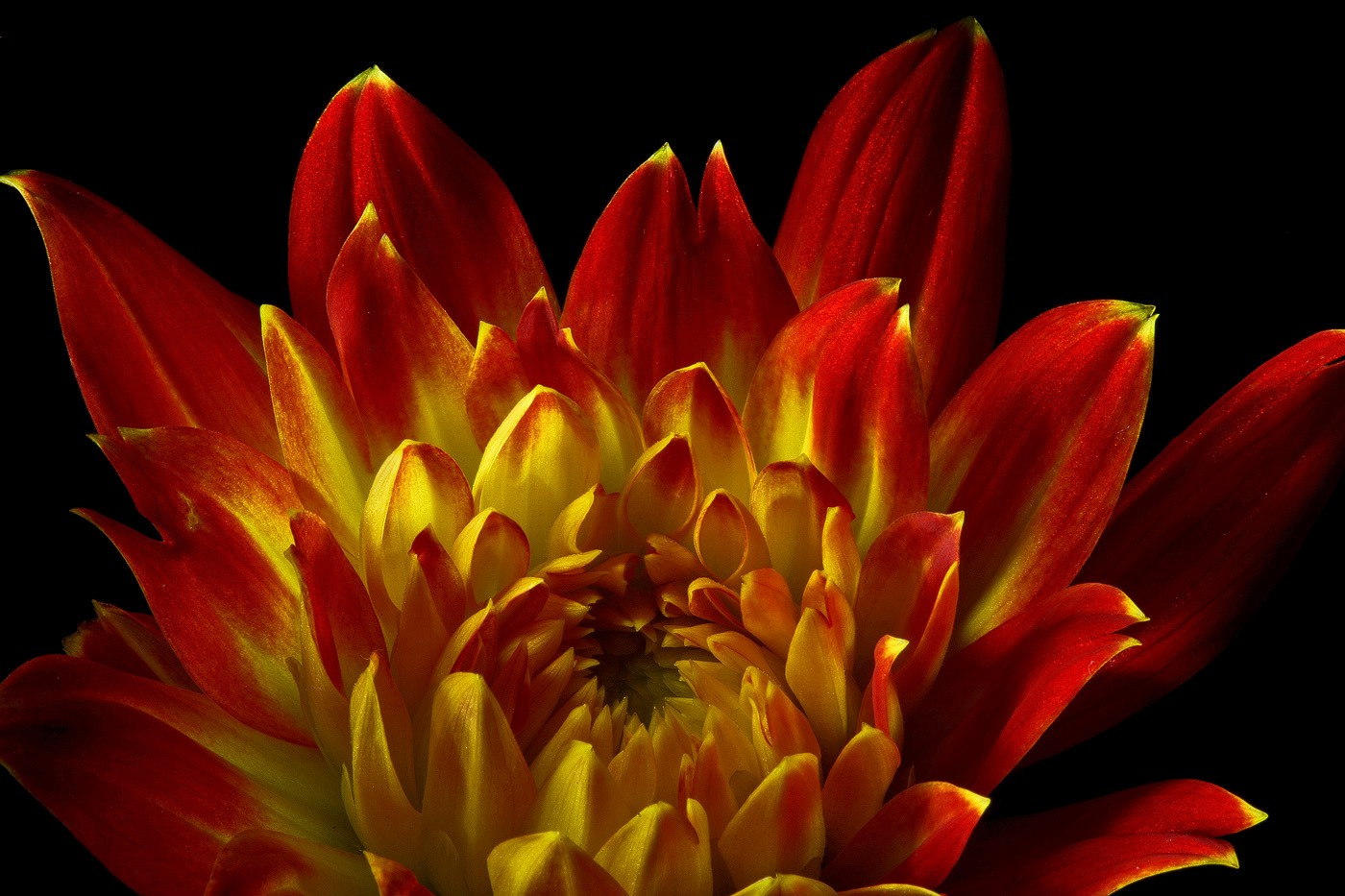 flame dahlia img aw author sava gregory and veren verena