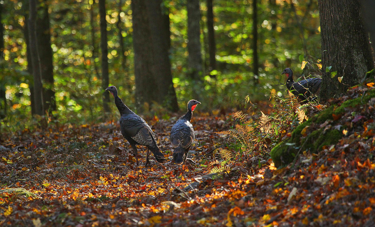 turkeys img aw author sava gregory and verena