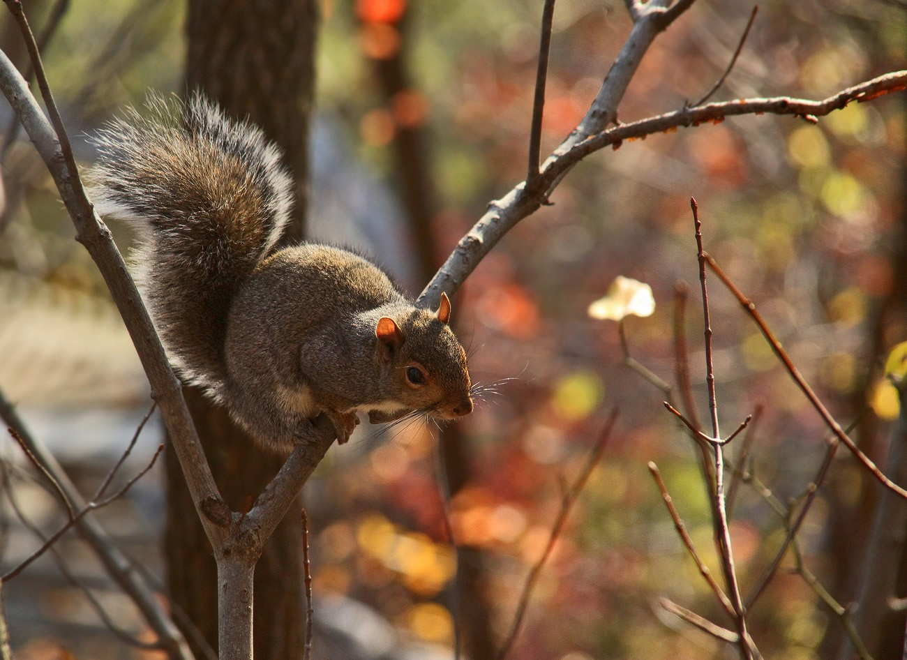 squirrel new river gorge img aw author sava grego gregory and verena