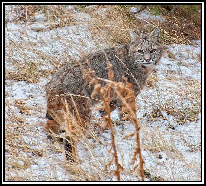 bobcat by john dismang author gricoskie jared