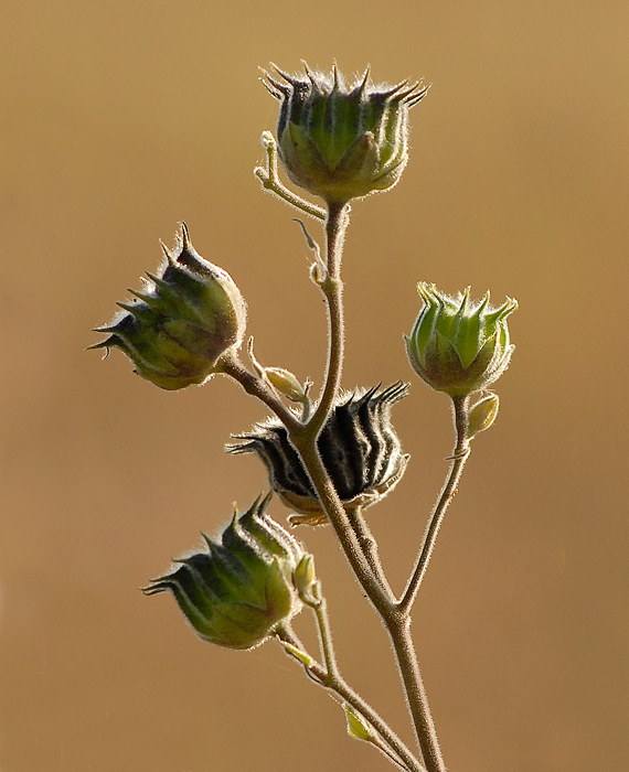 thistle in the fall author meluso louis