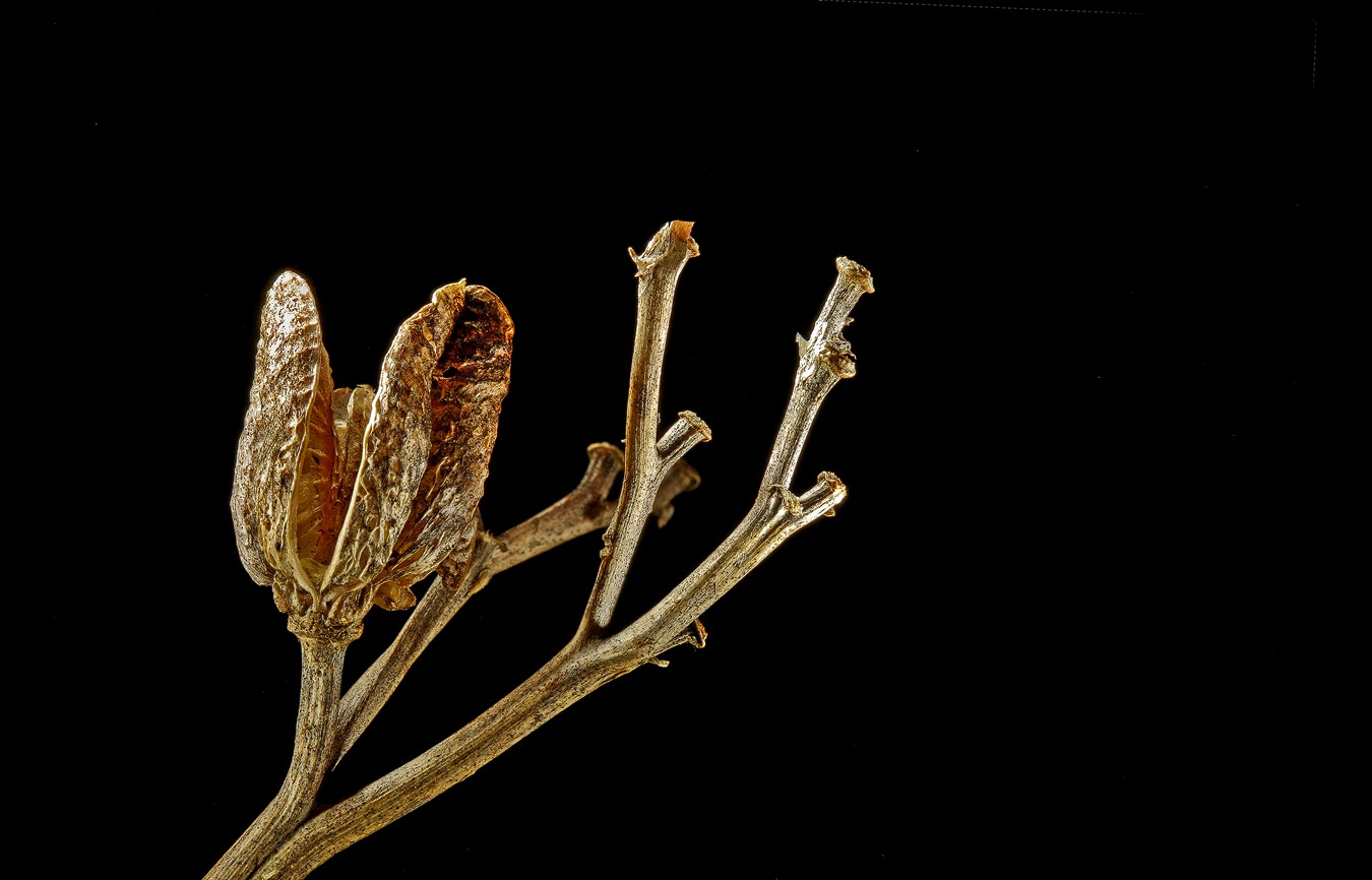 unknown weed img aw author sava gregory and veren verena