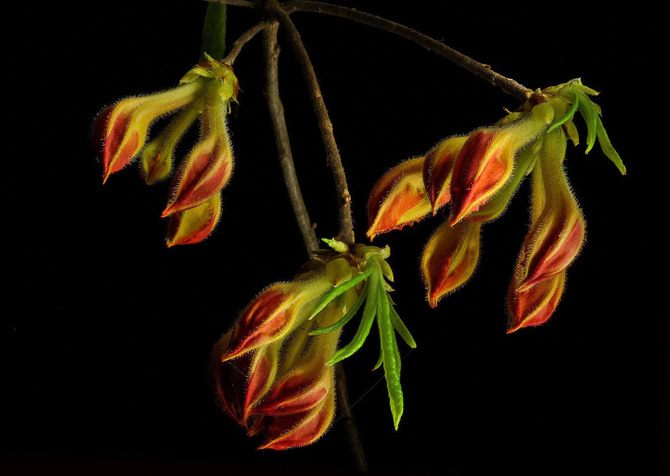 summer revisited flame azalea bud img aw author s sava gregory and verena