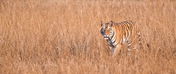 tiger in the grass author gricoskie jared