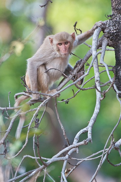 macaque author gricoskie jared