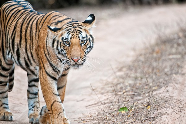 tiger stare down author gricoskie jared