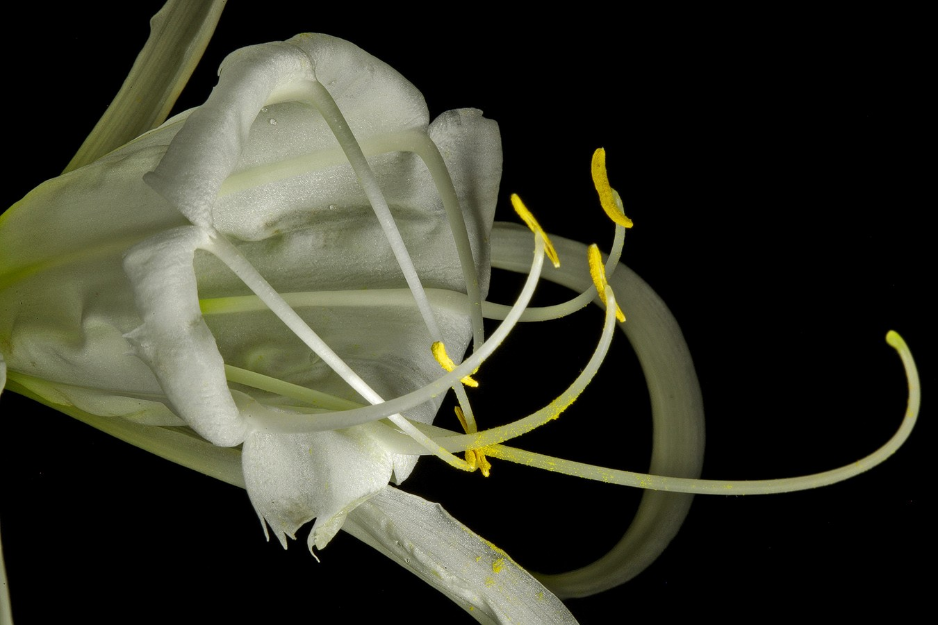 summer revisited peruvian daffodil img aw author sava gregory and verena