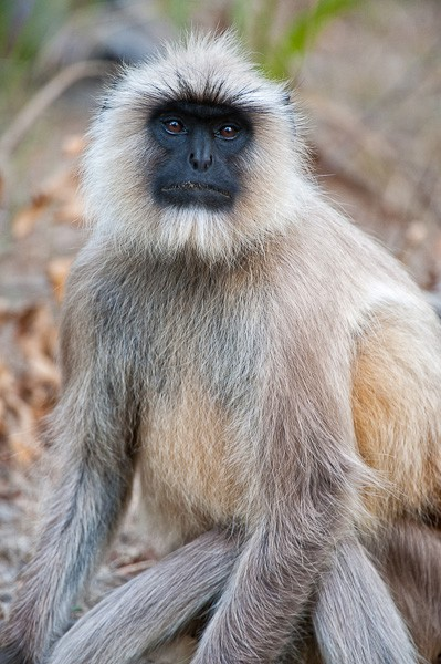 langur face author gricoskie jared