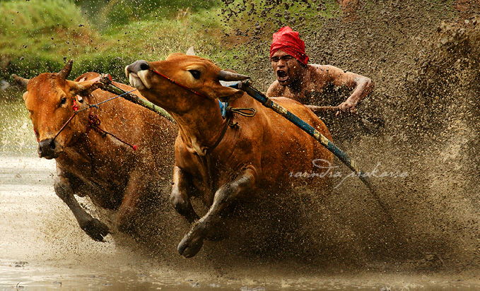 cow race author prakarsa rarindra
