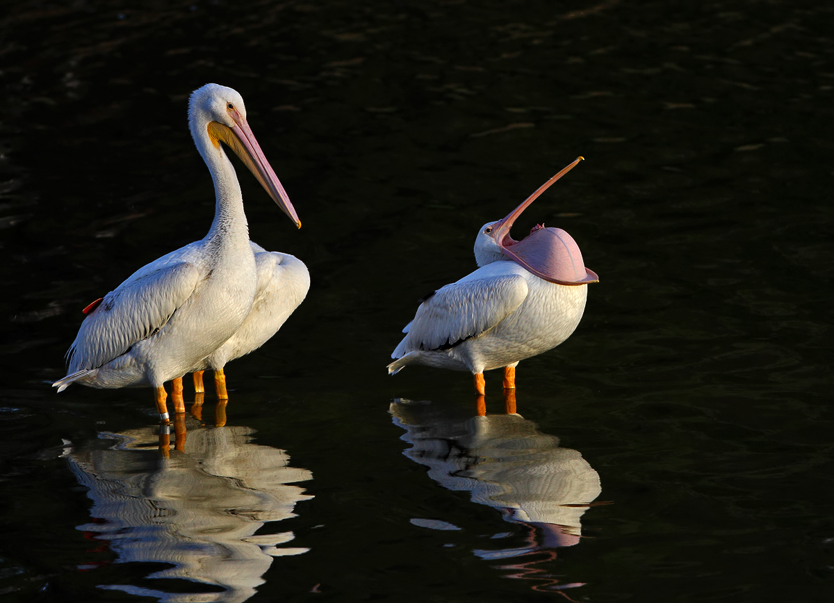 white pelican click image to view larger autho j tm