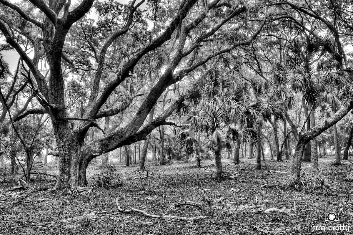 maritime forest in black and white by jim crotty