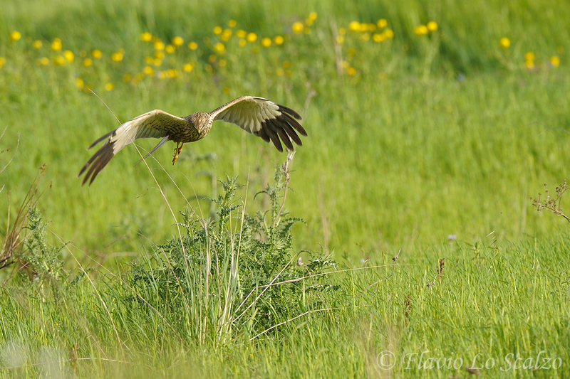 circus aeruginosus western marsh harrier author lo scalzo flavio