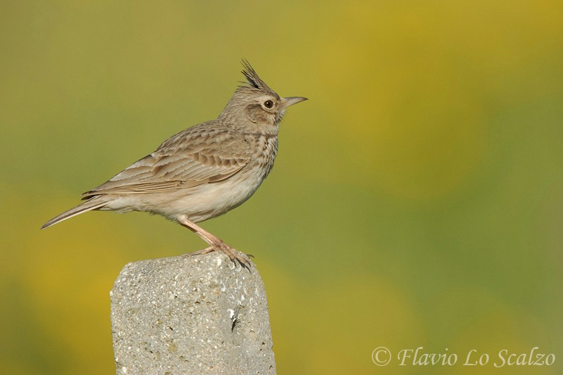 galerida cristata crested lark author lo scalzo flavio