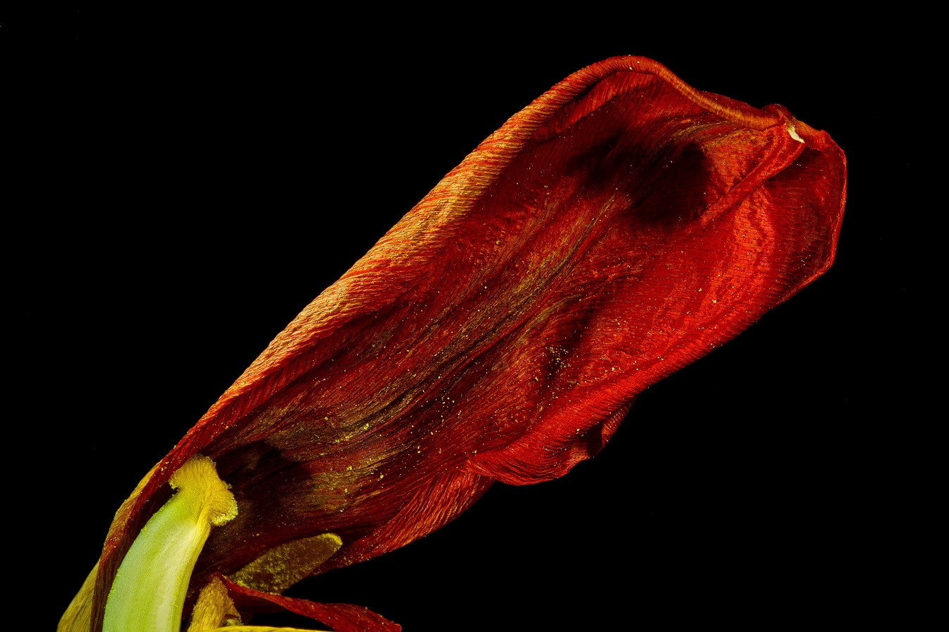 end stage tulip petal img aw author sava gregory and verena