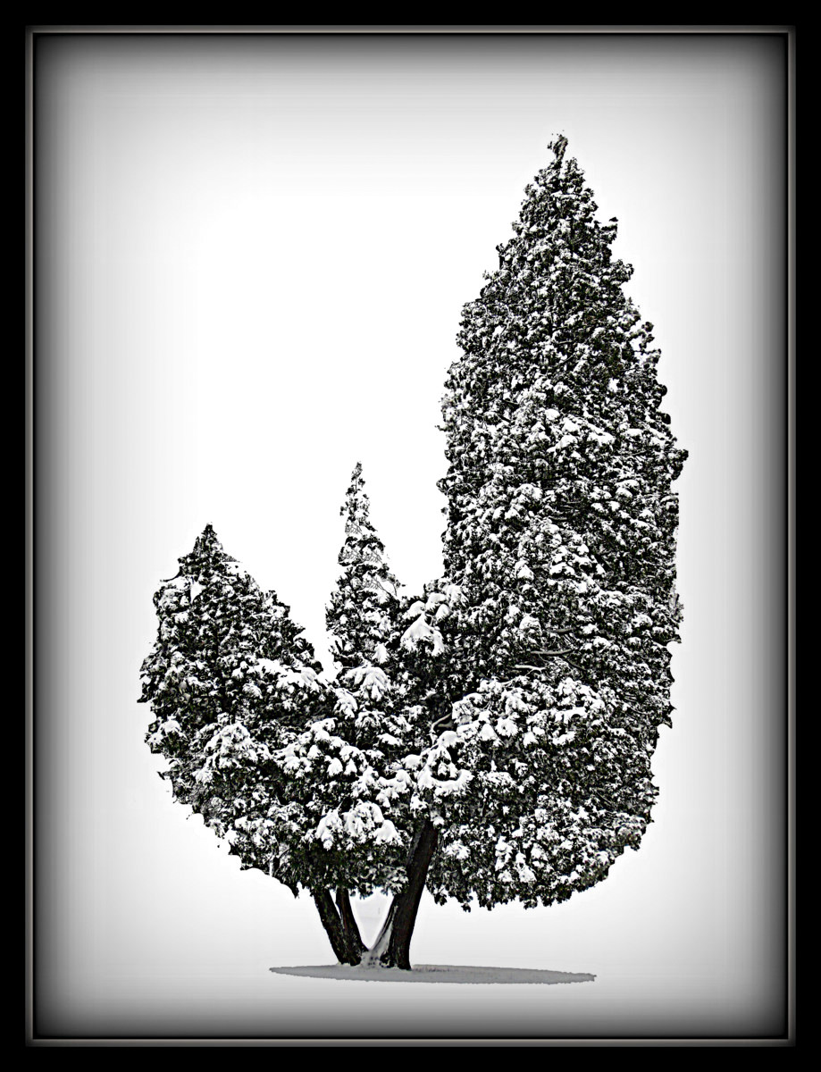 cedar trees after the snow author pluskwik paul