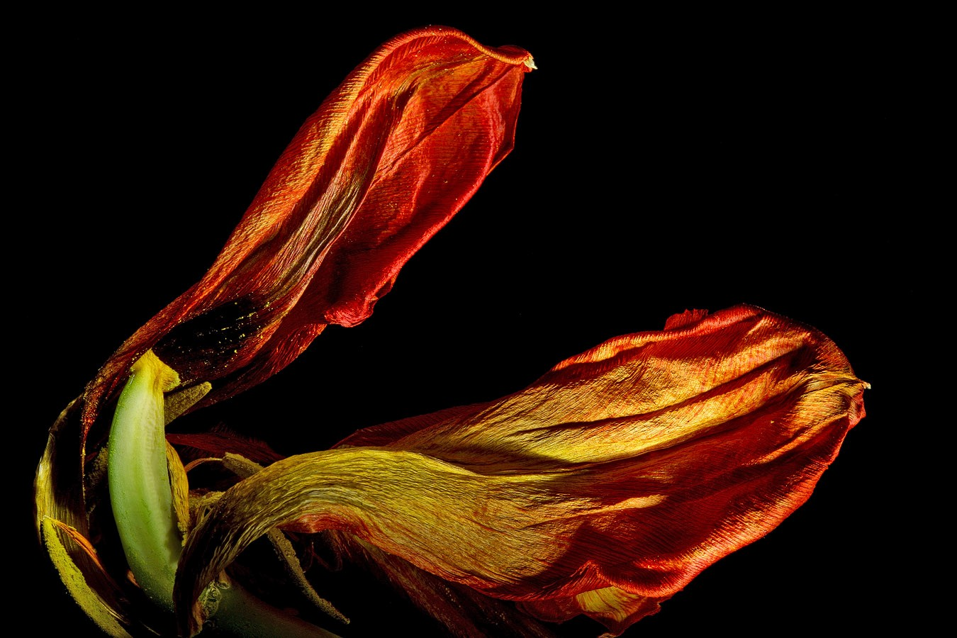 dried tulip img aw author sava gregory and verena