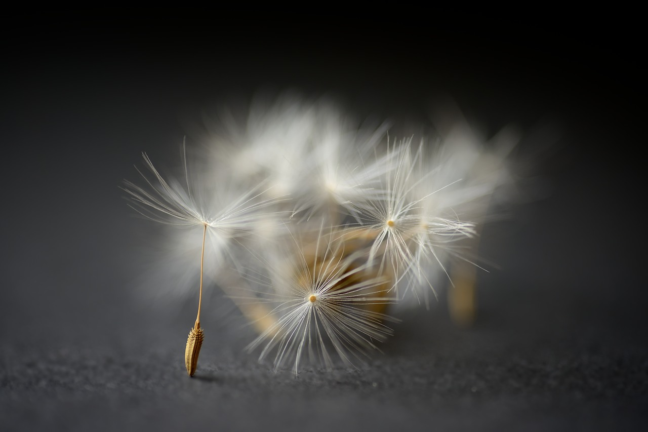 dandelion seeds author arnold wolfgang