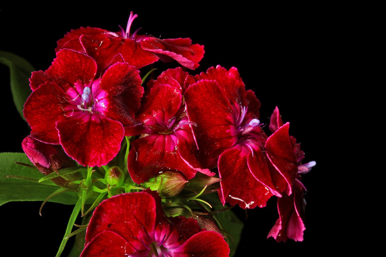 sweet william wet red img aw author sava gregory and verena