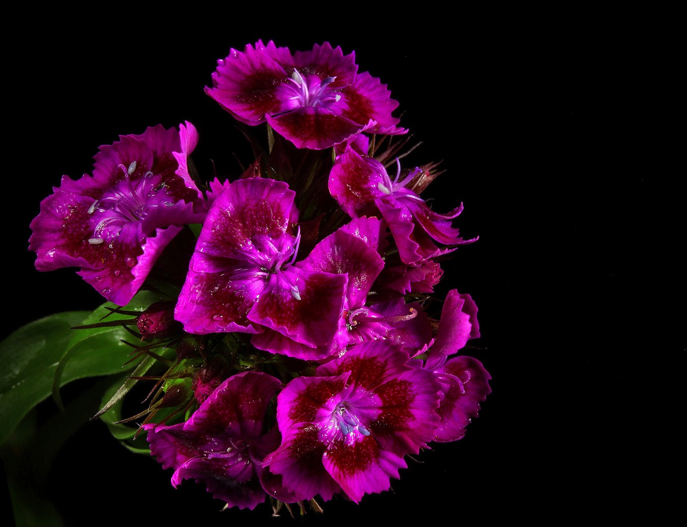 sweet william wet purple img abcw author sava gre gregory and verena