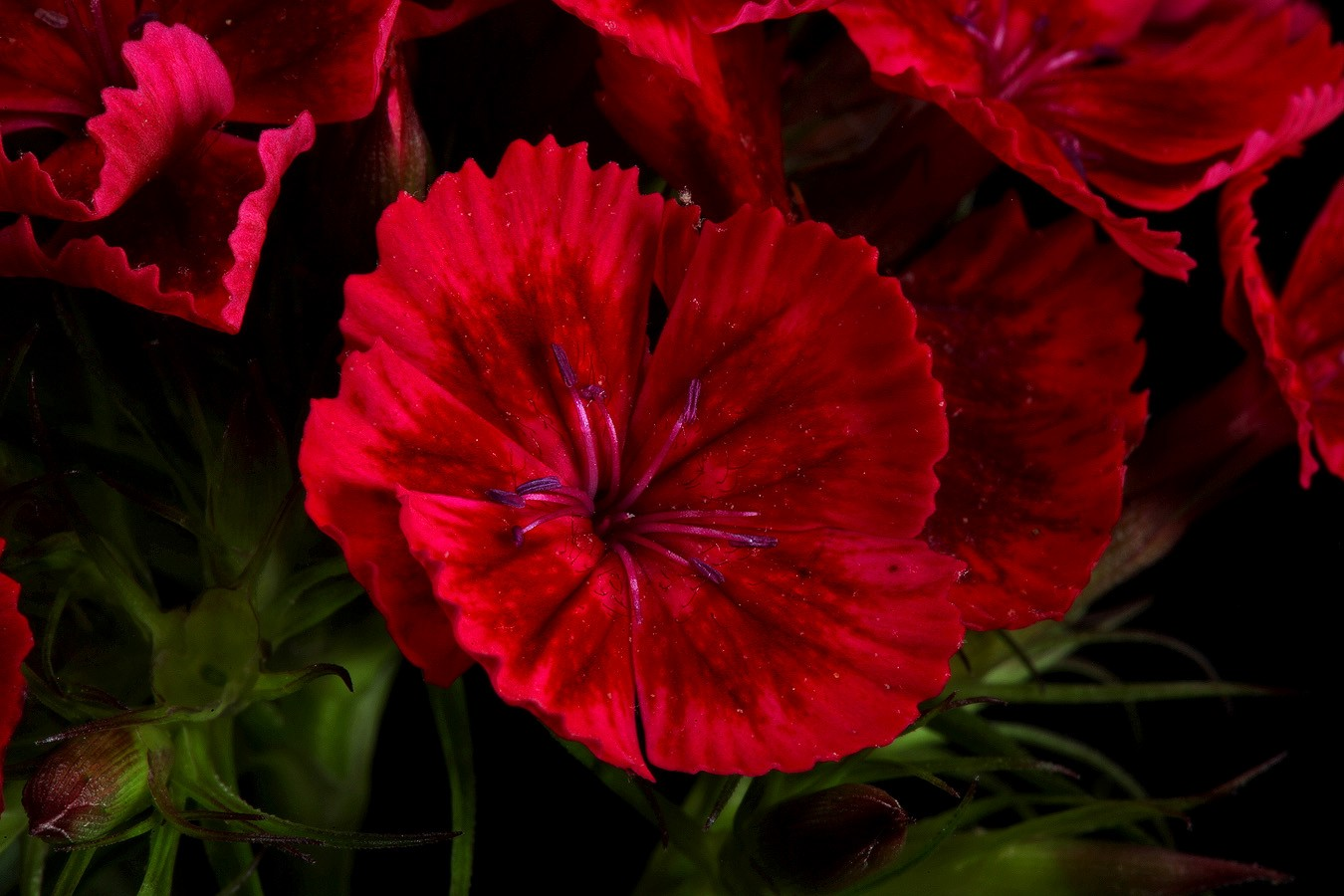 sweet william red img aw author sava gregory and verena