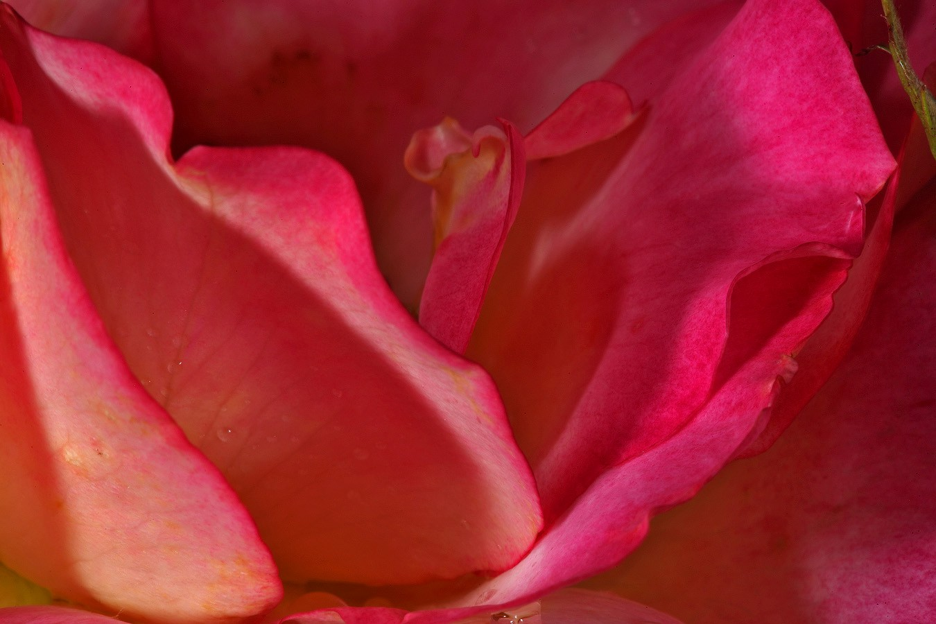rainbow rose b img aw author sava gregory and ver verena