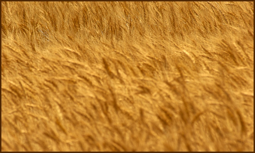 amber waves of grain large view author downs jim
