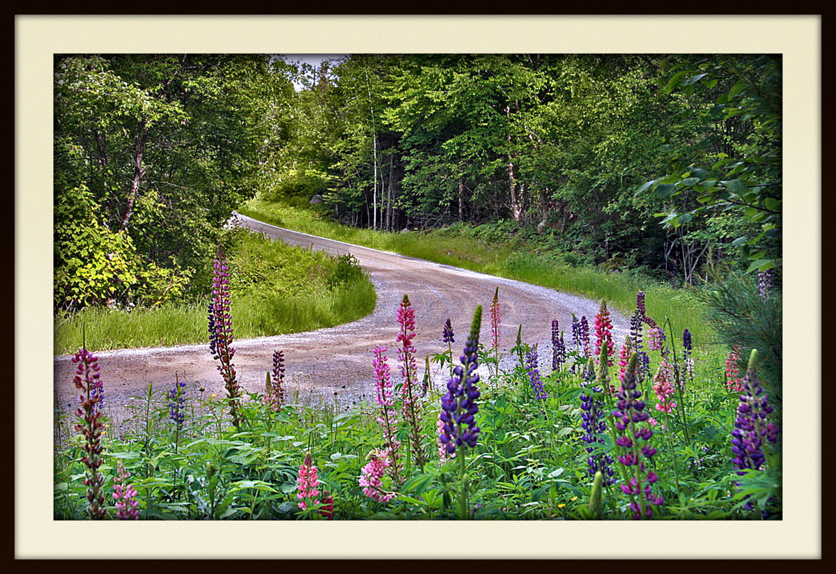 lupine along the road side author pluskwik paul