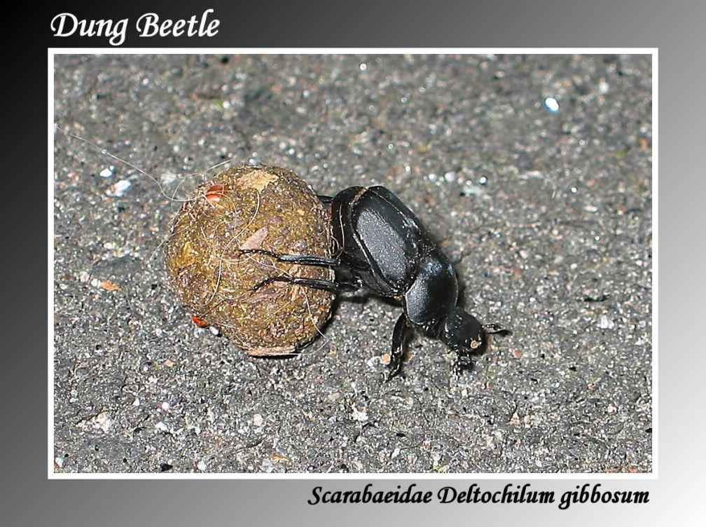 dung beetle lake crabtree county park author barm barman dilip