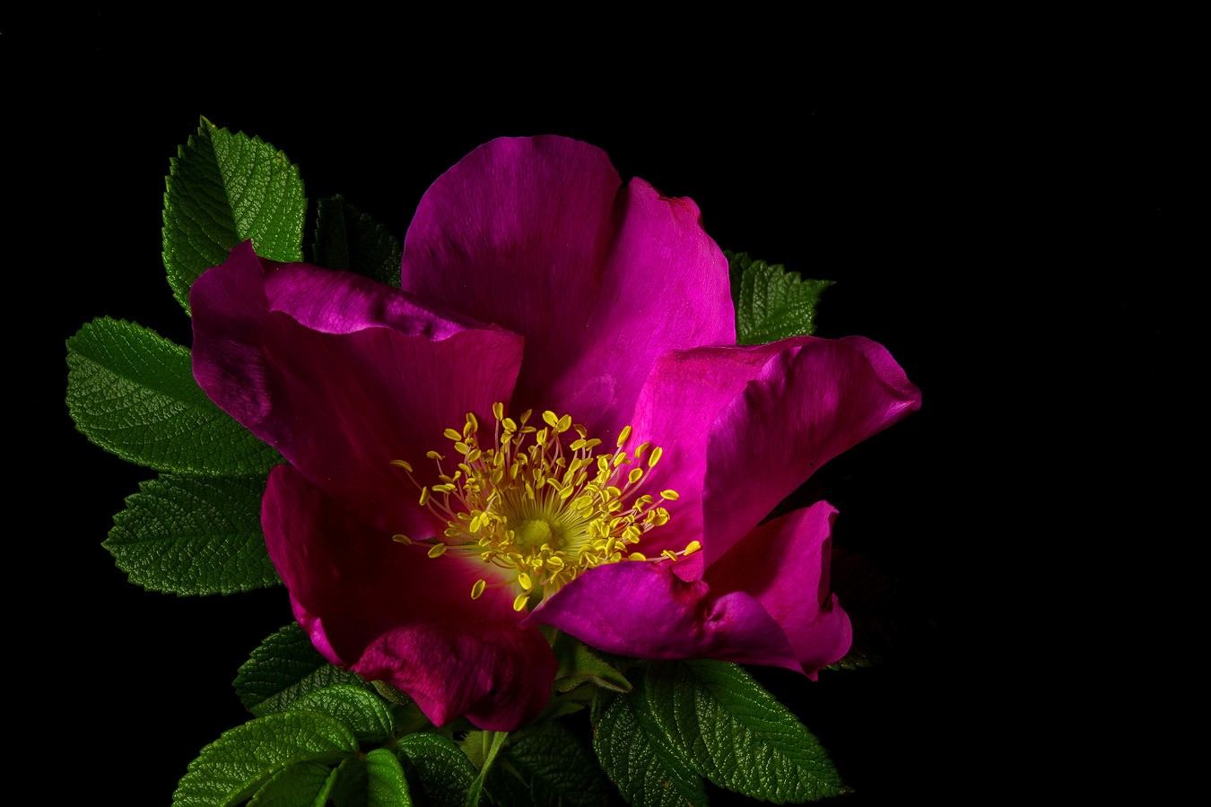 rugosa ver img aw author sava gregory and verena