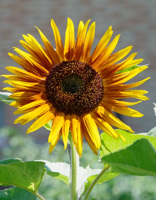 sunflower with out eric author brooks david