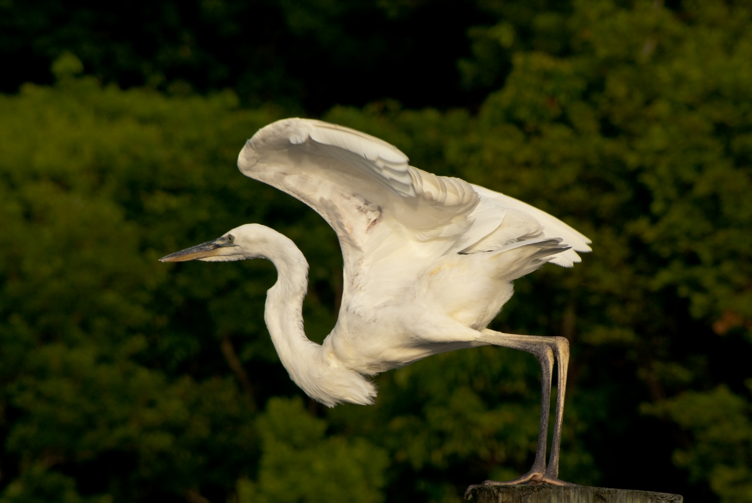 great egret ready for takeoff author yin tom
