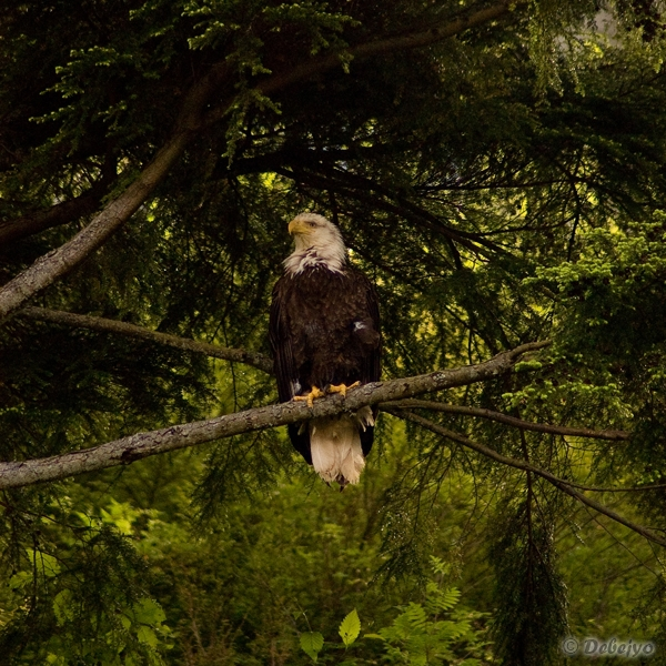 bald eagle author chakraborty debejyo