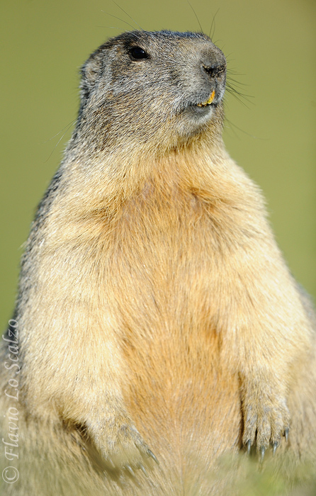 alpine marmot marmota author lo scalzo flavio
