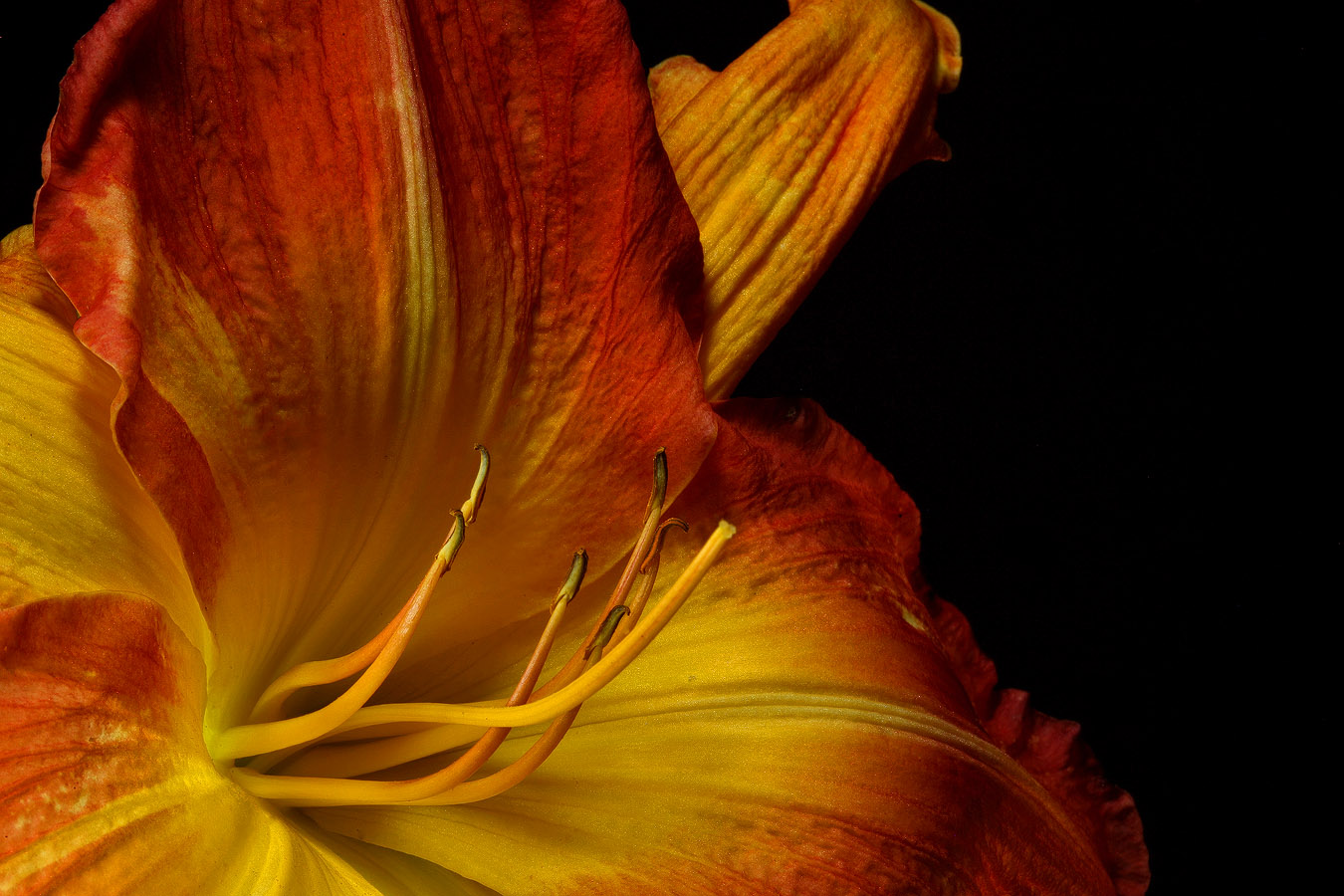 golden lily close dark img aw author sava gregory and verena