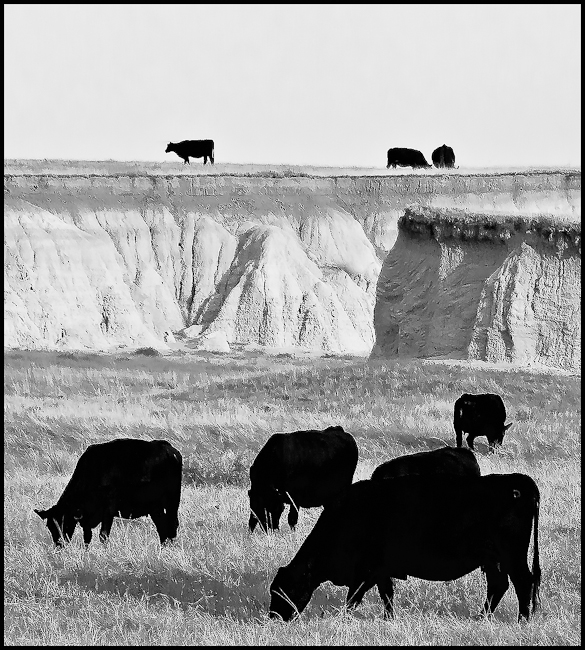 black cows in two different worlds author downs j jim
