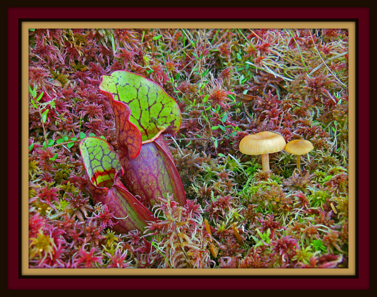 pitcher plant and mushrooms in the mossy bog auth pluskwik paul
