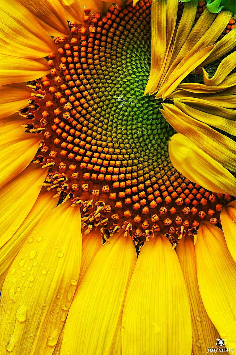 sunflower form and texture author crotty jim