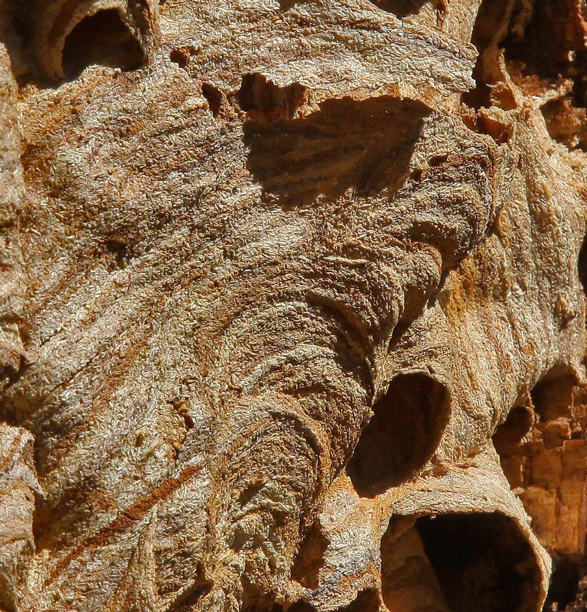 european hornet nest close img aw author sava gre gregory and verena