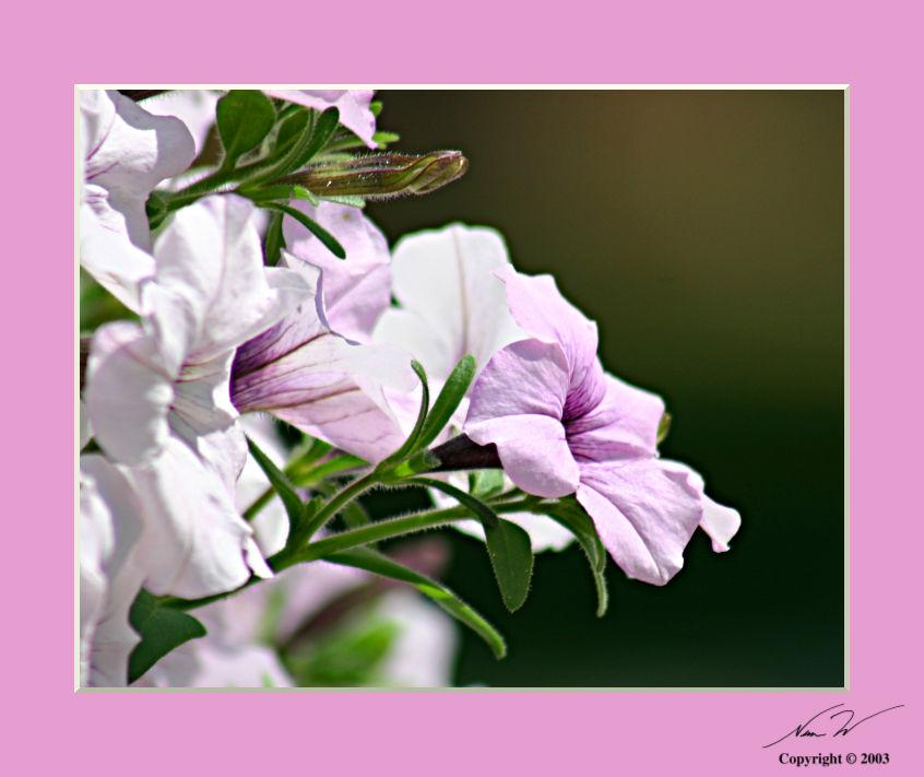 white pink flowers author schlecht nem w