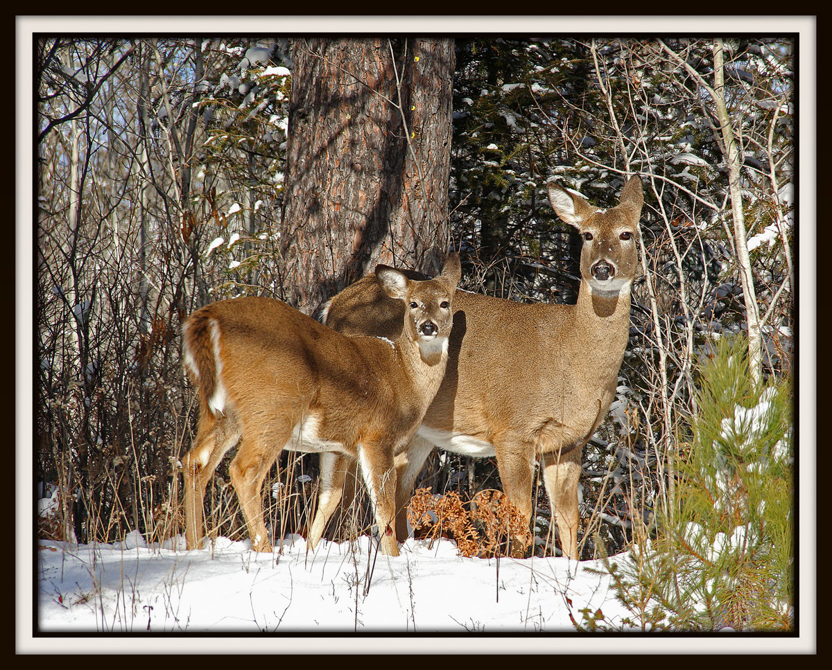whitetail deer in early winter author pluskwik pa paul