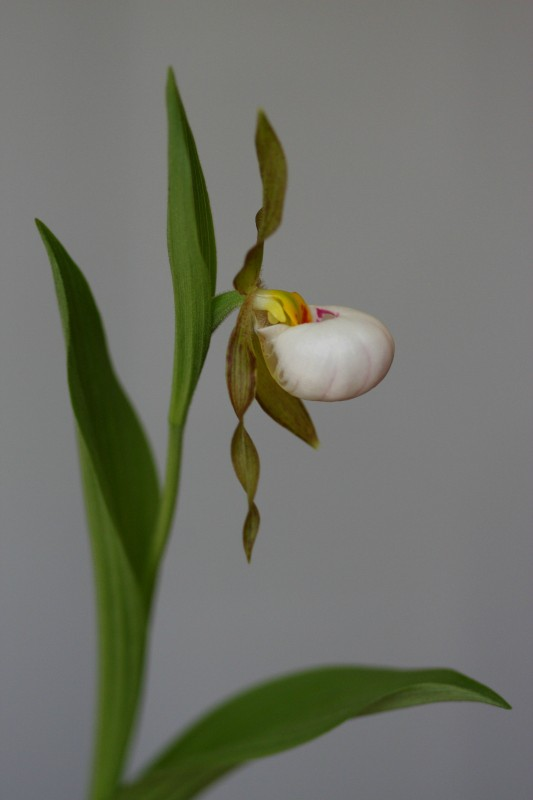 cypripedium candidum cultivated author szulecki joshua